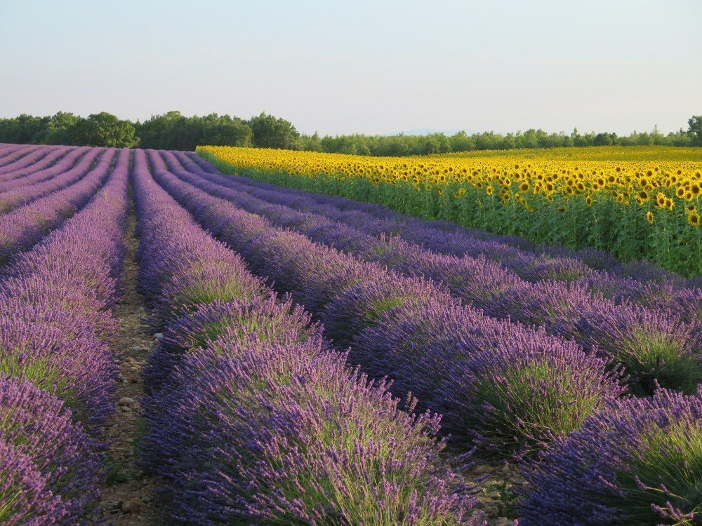 lavender-fields france farmstay