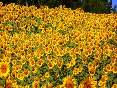 Sunflower fields on a farm in Abruzzo, Italy.