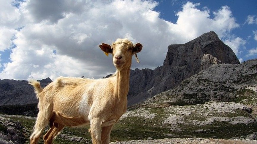 Wild goat in Asturias, northern Spain.