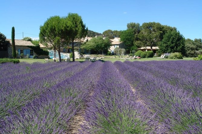 Lavender fields at Le Mas de la Rose Provence farmstay