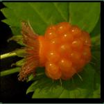 Salmonberries_Sep