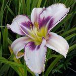 A lovely lilac flowered Hemerocallis