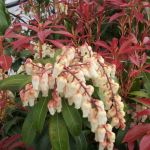 racemes of white pieris flowers