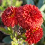 bright red chrysanthemum