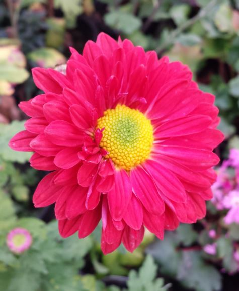 Chrysanthemum 'Enbee Wedding Ruby'
