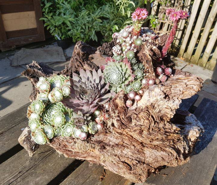 Sempervivums that have been planted on a wooden stump, an ideal and novel growing place