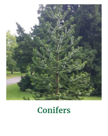 Shop for Conifers