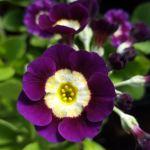 Stunning purple Primula auricula.