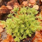 podocarpus nivalis kilworth cream