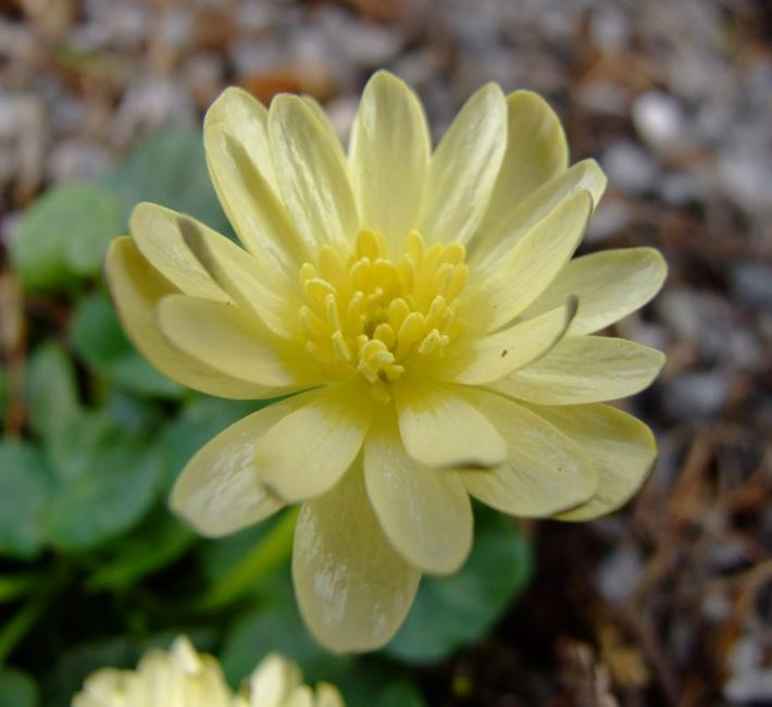 Celandines - one of the most beautiful of all the spring flowers.