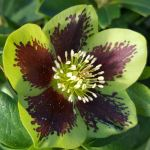 Single green hellebore growing in our gardens