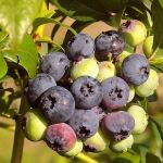 sweet and juicy blueberries on an upright bush