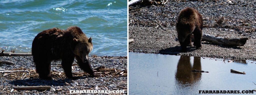 Grizzly Bear - aproximamos a foto original