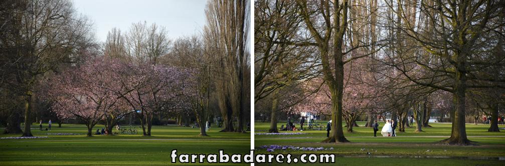 Árvores de cerejeiras durante o período de florada no Lago Außenaslter em Hamburgo