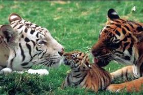 семейство тигри