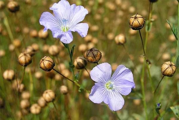 Foto da flor e semente de linho