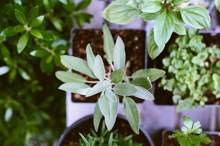 mudas de ervas medicinais vistas de cima