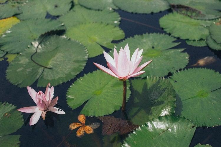flor de lótus flutuando em um lago