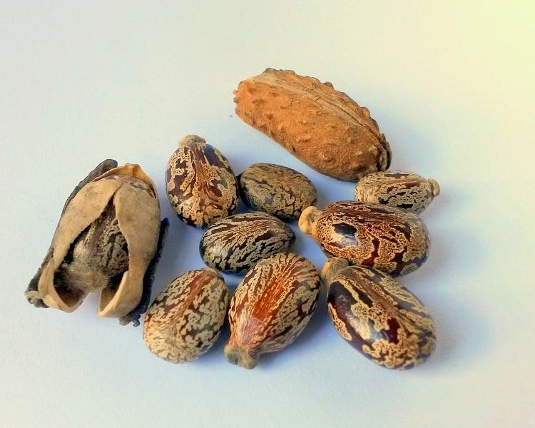 sementes de mamona, de onde é extraído o óleo de rícino