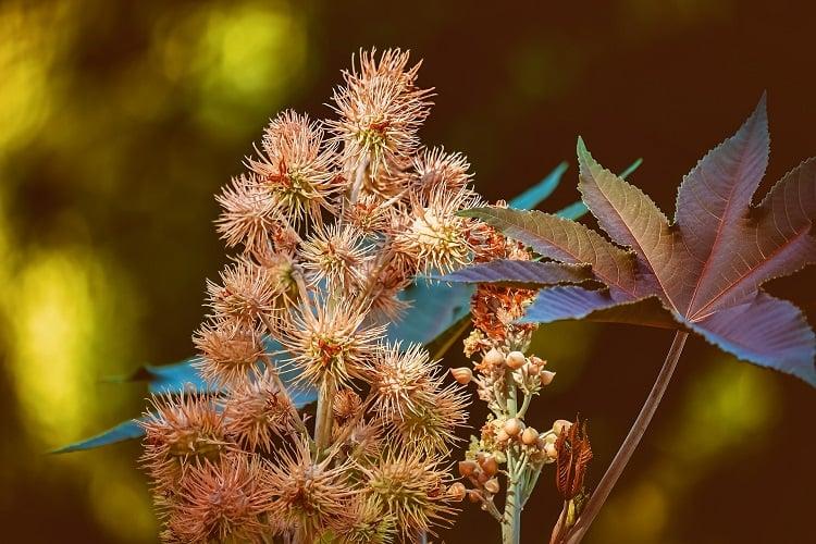 planta rícino