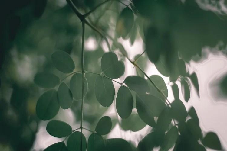 folhas de árvore da vida