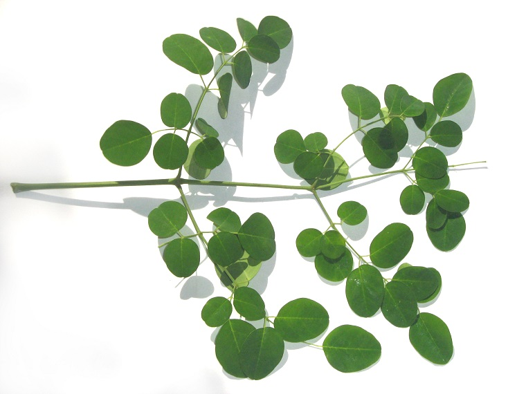 folha de Moringa oleifera