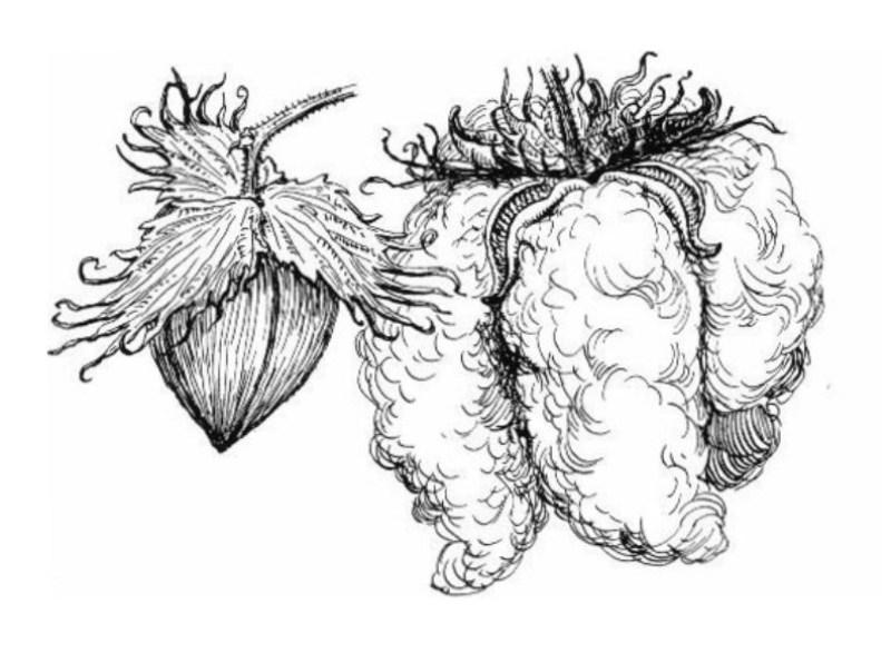 Ilustração do algodão.