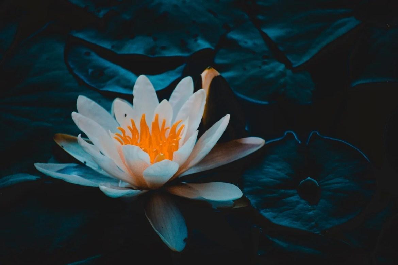 flor de lotus branca