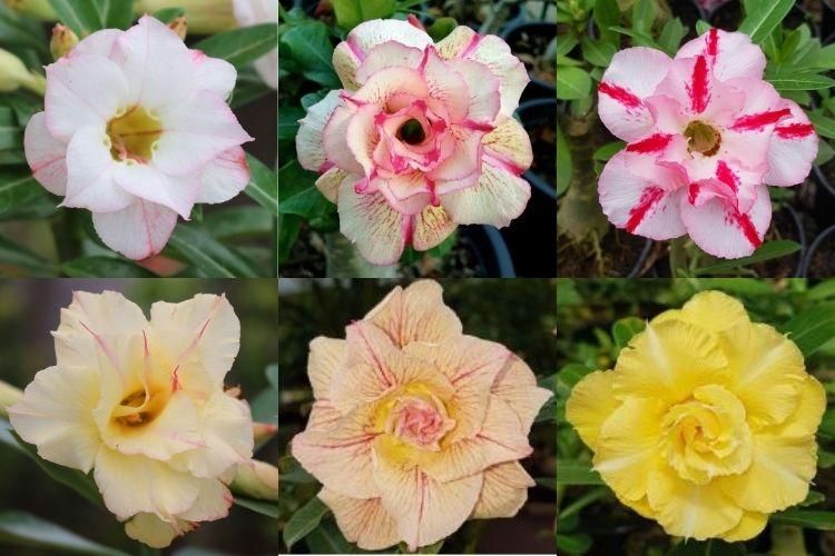 quais são as cores da rosa do deserto