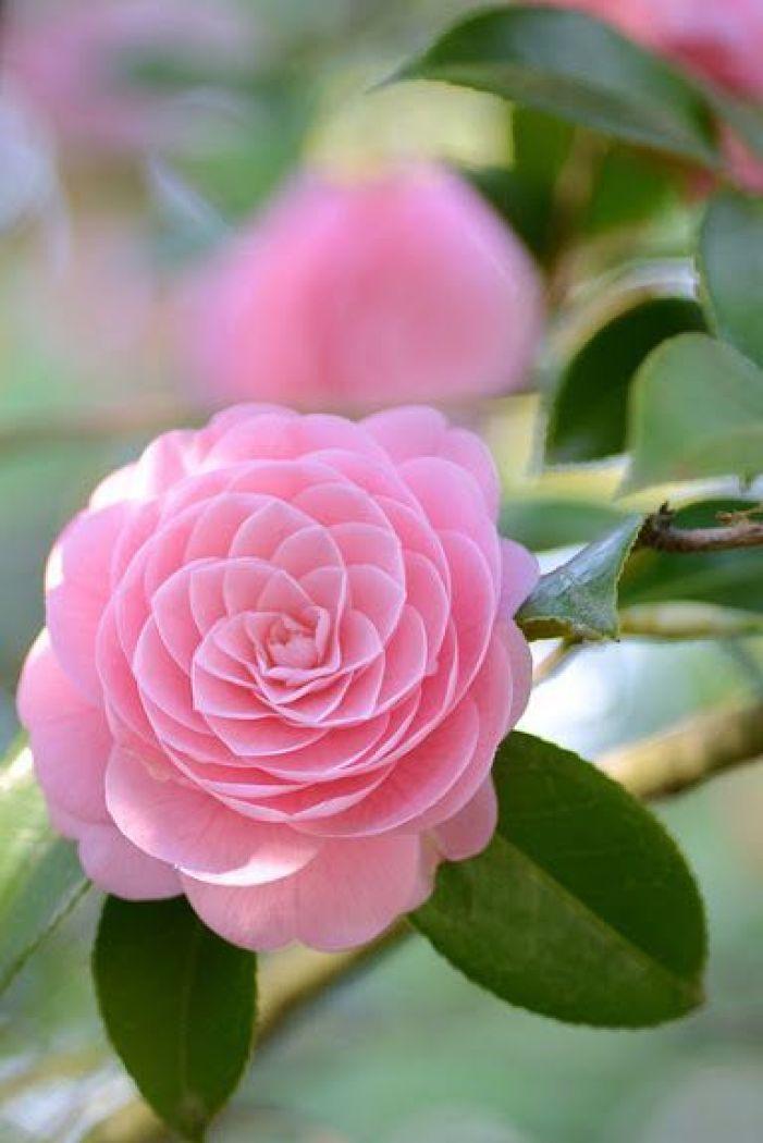 Flores que gostam de frio rosa.