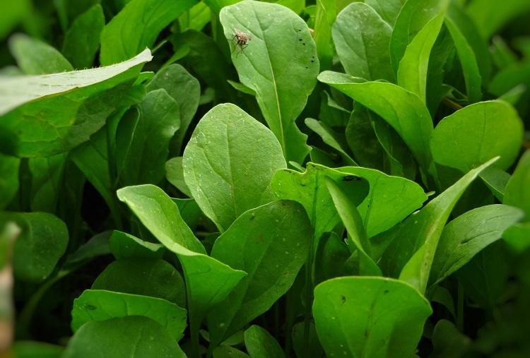 Foto aproximada de folhas de rúcula