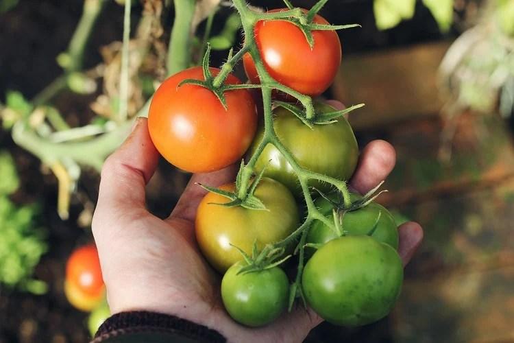 Mão segurando ramo de tomateiro, como plantar tomate