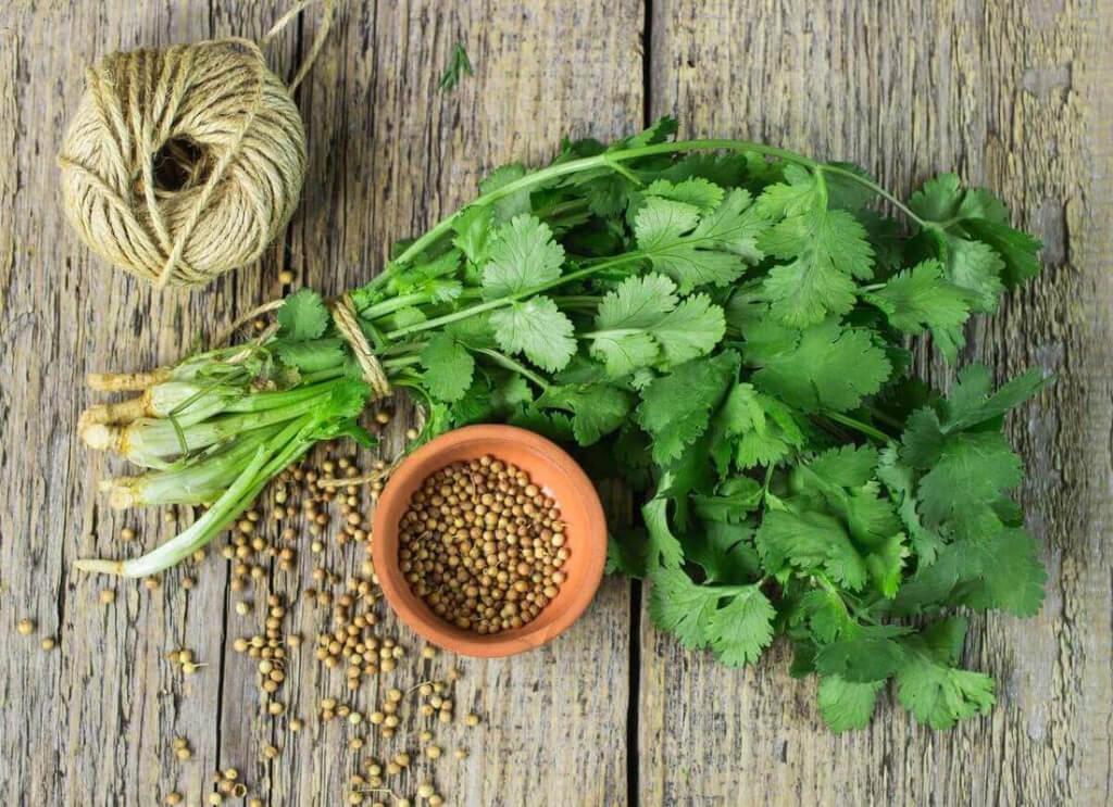 semente de coentro com folhas verdes de coentro