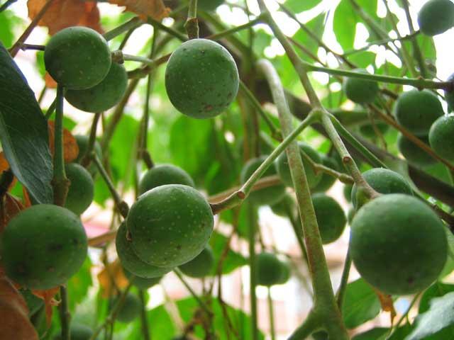 sementes de nim