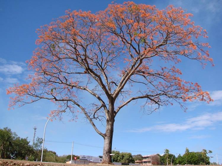 Foto de árvore Erythrina mulungu adulta