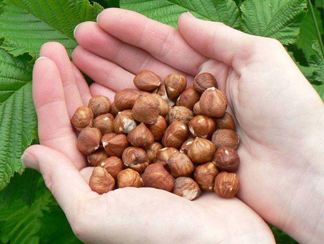 Hazelnuts incresses Immunity