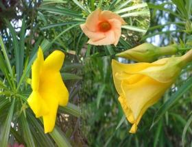 कनेर के फूल और पत्तों के चमत्कारिक फ़ायदे