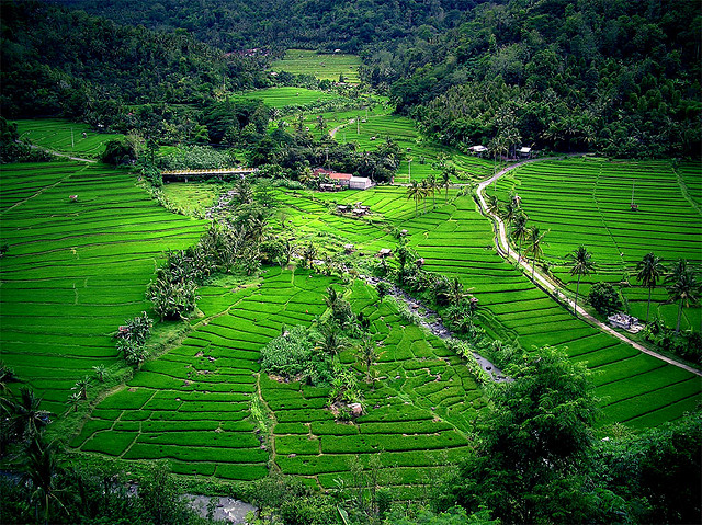 Rice Fields Indonesia