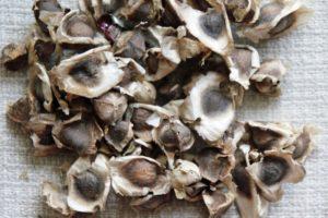 Gousses de graines de Moringa