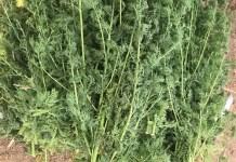 à –la- découverte- de –l-Artemesia-une- plante -médicinale -aux –multiples- vertus