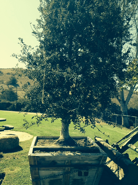 The tree was planted last week and is doing well !!