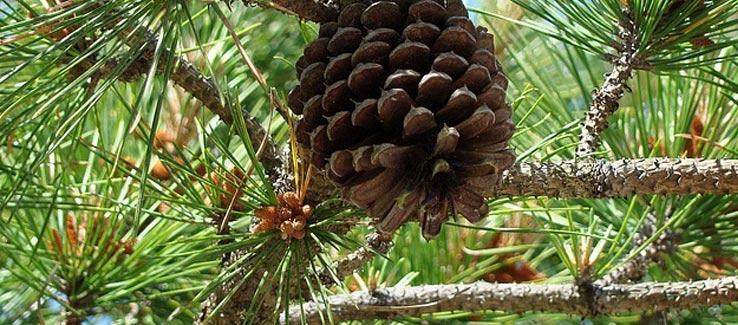 Healing pine tree for backyard landscape