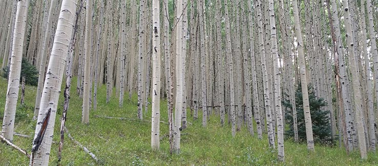 Stand of invasive quaking aspen tree species