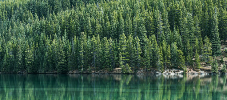 Pine trees have medicinal properties used by natives for centuries