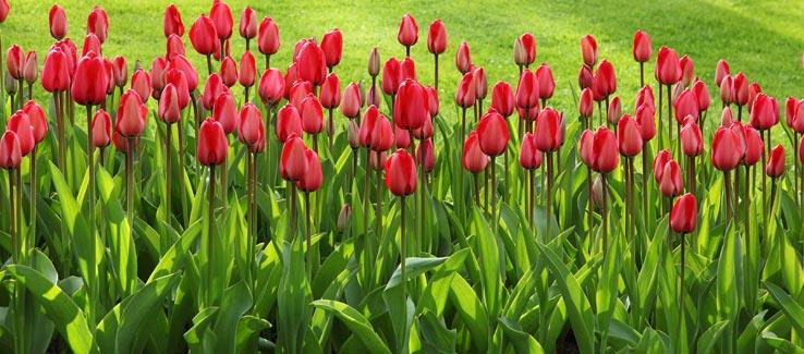 Healthy summer garden with tulips
