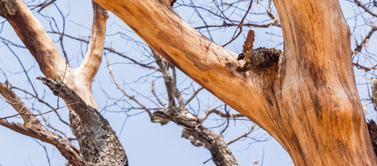 Fatal loss of tree bark on trunk and branches