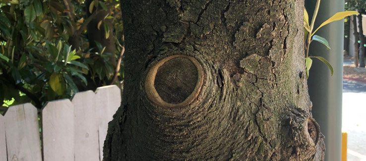 Tree compartmentalization pruning wound after 3 years