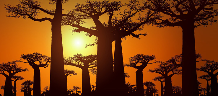 Tree cutting services dying baobab