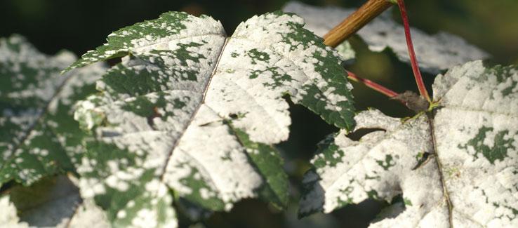 Powdery mildew problems on trees in Atlanta Ga