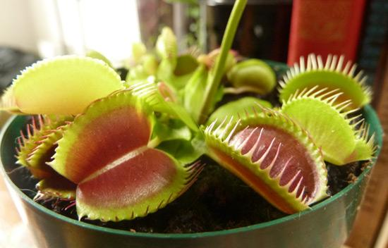 moments of happiness - my venus fly trap